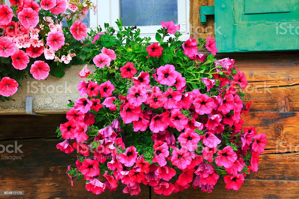 Colorful Bright Geranium flowers, rustic balcony flowerbed, Interlaken, Switzerland - Photo