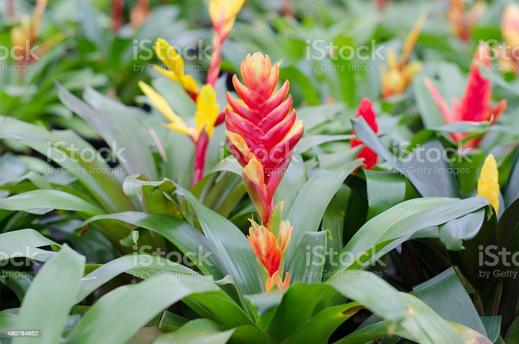 colorful bromeliad flower stock photo