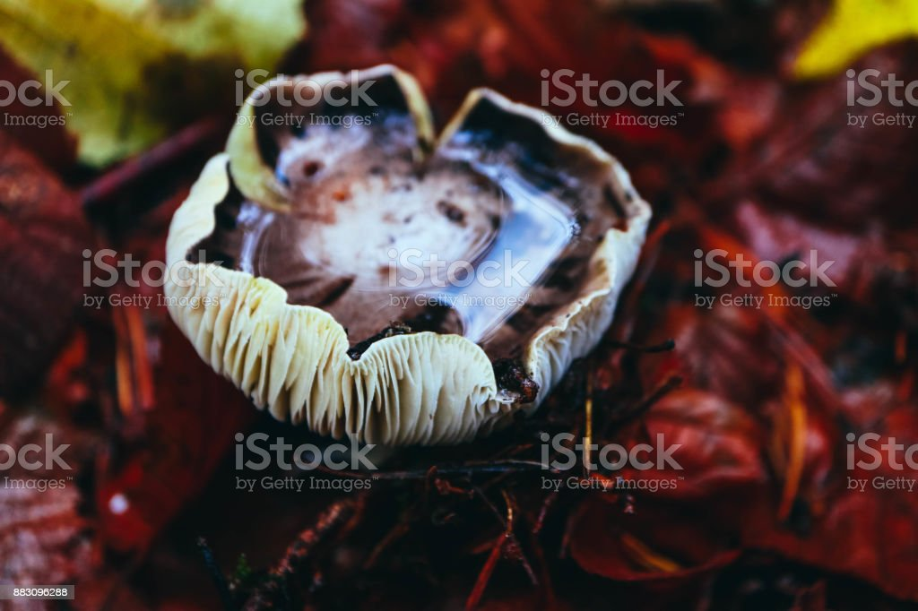 Colorful brown russula mushroom, blurred forest on the background, close up. stock photo