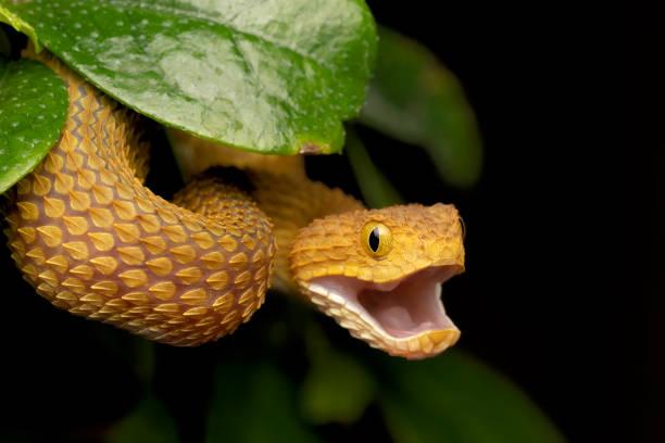 Bunte Bush Viper Schlange mit offenem Mund – Foto