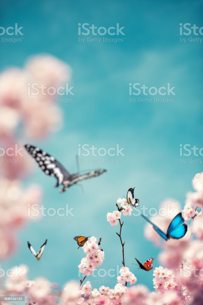 Colorful Butterflies On Cherry Tree stock photo