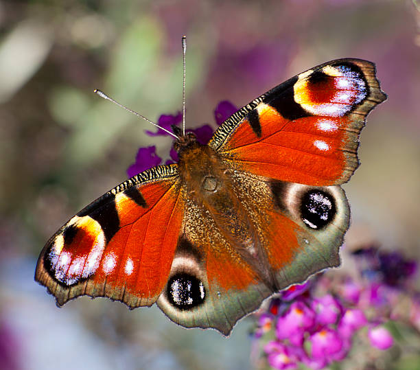 Colorful butterfly picture id171156656?b=1&k=6&m=171156656&s=612x612&w=0&h=vobr9xbobqdivi2l uqr4scein7 d1g7flxfot zq1s=