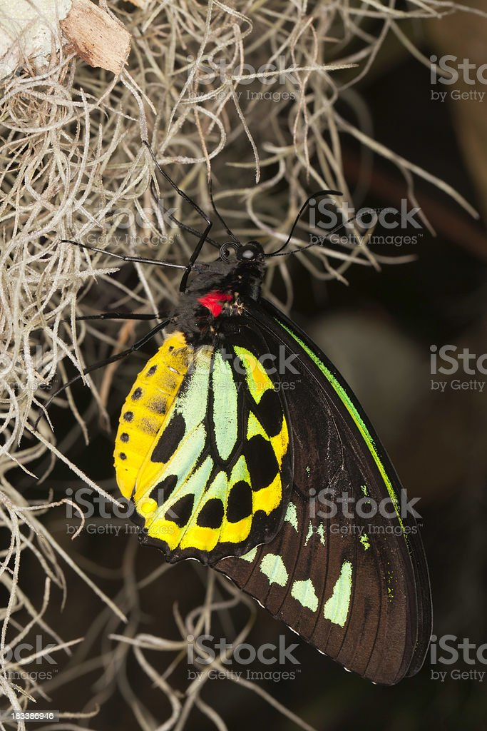 colorful butterfly (Ornithoptera priamus) stock photo