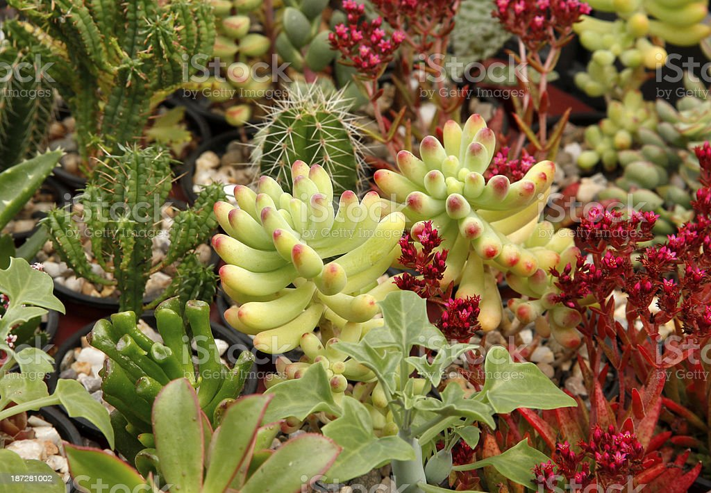 Colorful cacti succulents stock photo