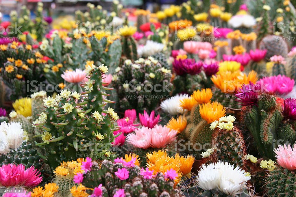 colorful cactus collection royalty-free stock photo