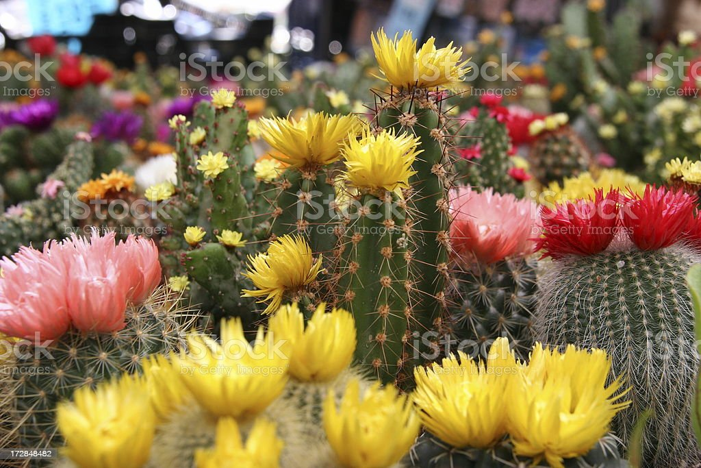 colorful cactus royalty-free stock photo