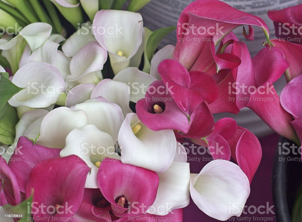 Colorful Calla Lillies royalty-free stock photo