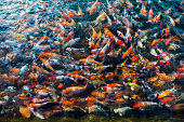 Colorful many koi fish swimming in pond