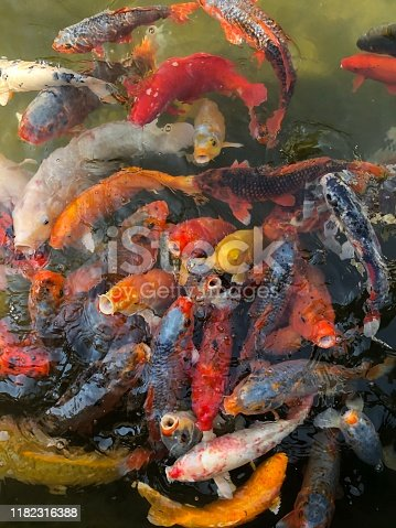 Colorful Carp Swimming in Traditional Japanese Koi Pond Kyoto Japan