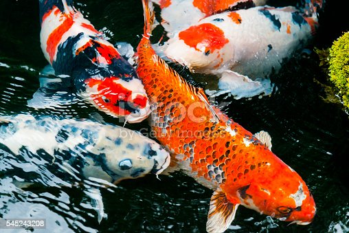 This is a horizontal, color photograph of vibrantly colored carp fish swimming in a traditional Japanese Koi Pond in Kyoto, Japan. Photographed with a Nikon D800 DSLR camera.