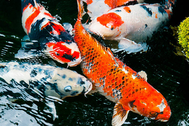 Royalty free koi pictures images and stock photos istock for Pool koi aquatics ltd