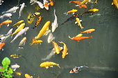 Colorful carps fish in the pond, Taiwan