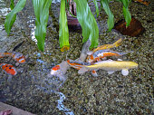 Colorful Carps Swimming In The Pond with clear water.