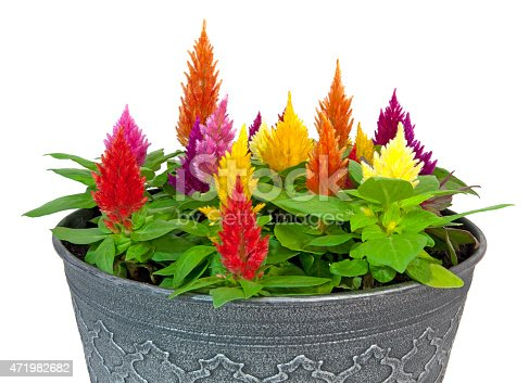 Colorful celosia in gray flower pot. Isolated. White background. Horizontal.