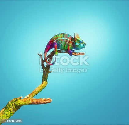 Colorful chameleon on a branch isolated on blue background. This is a 3d render illustration .