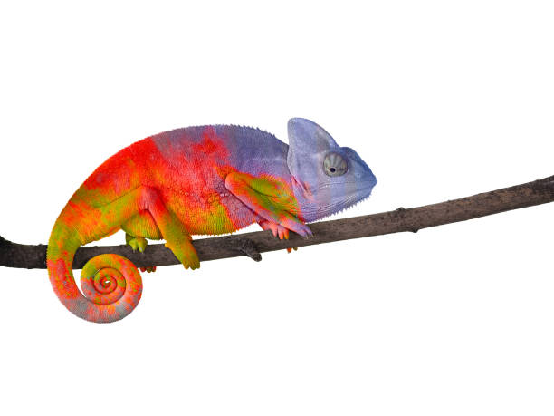 Colorful Chameleon on a branch with a spiral tail. stock photo