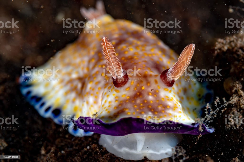 Colorful chromodoris nudibranch close up macro detail in indonesia stock photo