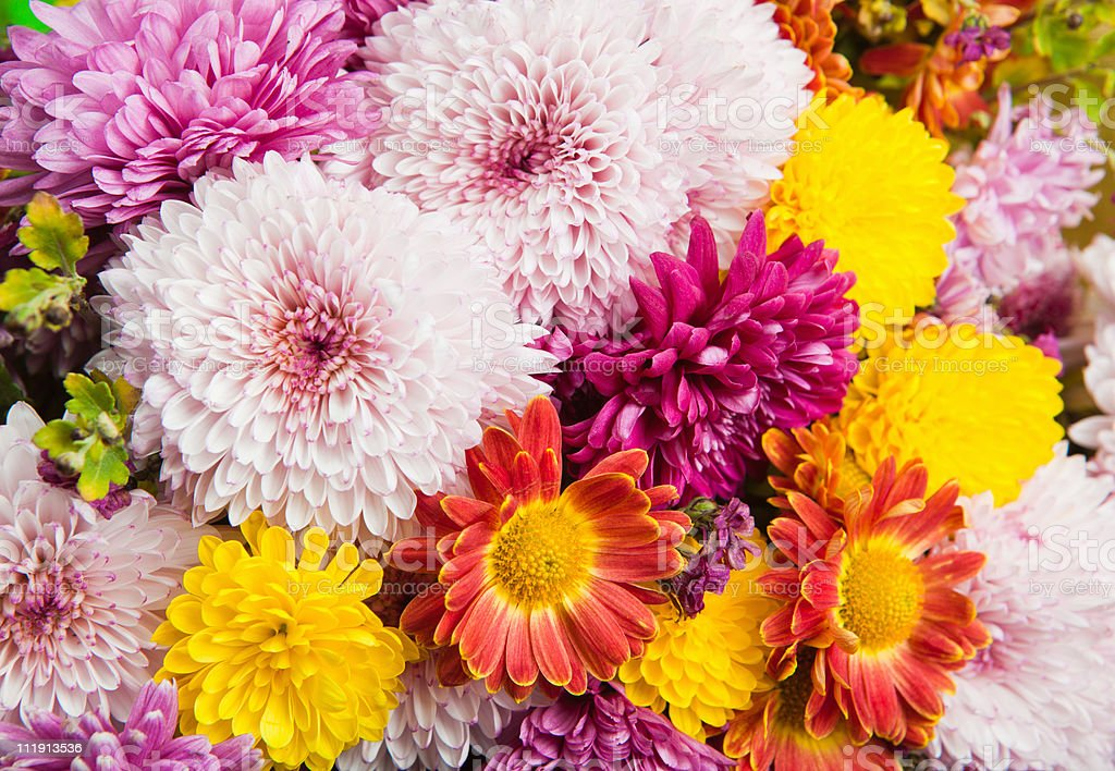 Colorful chrysanthemum and daisy flowers royalty-free stock photo