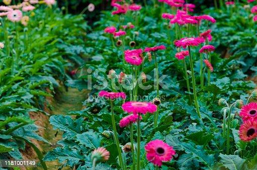 istock Colorful Chrysanthemum botanic garden 1181001149
