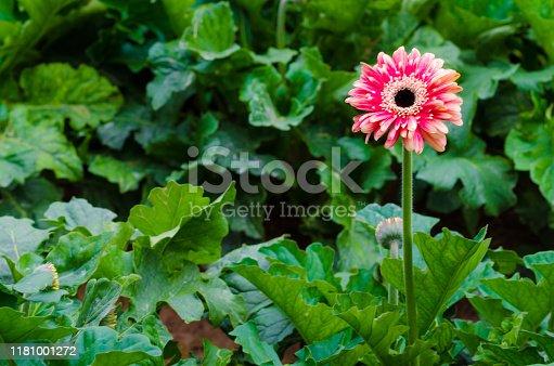 istock Colorful Chrysanthemum botanic garden 1181001272