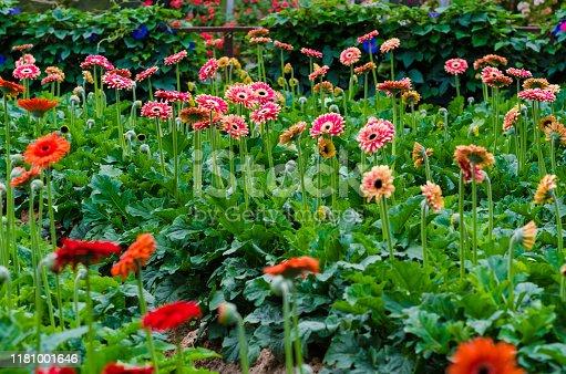 istock Colorful Chrysanthemum botanic garden 1181001646