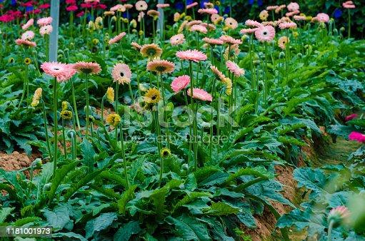 istock Colorful Chrysanthemum botanic garden 1181001973