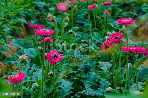 istock Colorful Chrysanthemum botanic garden 1181003153