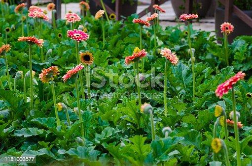 istock Colorful Chrysanthemum botanic garden 1181003577