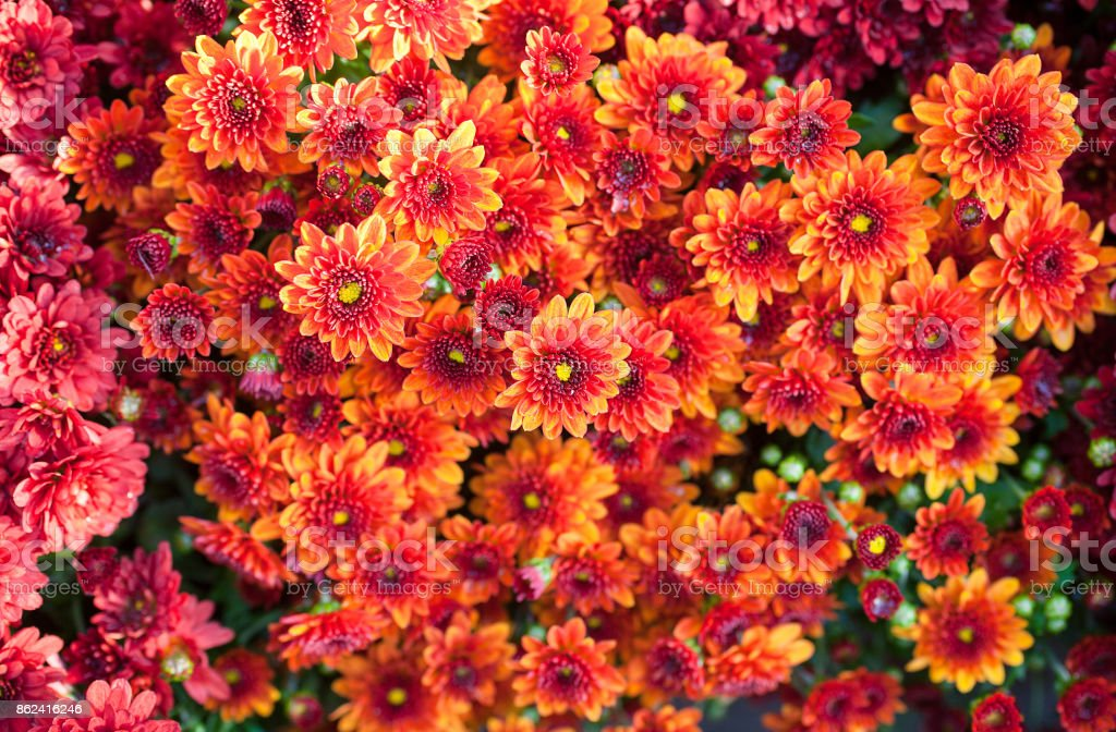 Colorful chrysanthemum close-up. Abstract background of orange flowers stock photo