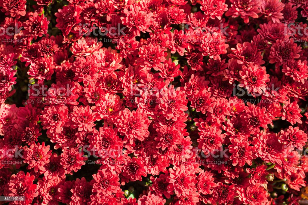 Colorful chrysanthemum close-up. Abstract background of red flowers stock photo
