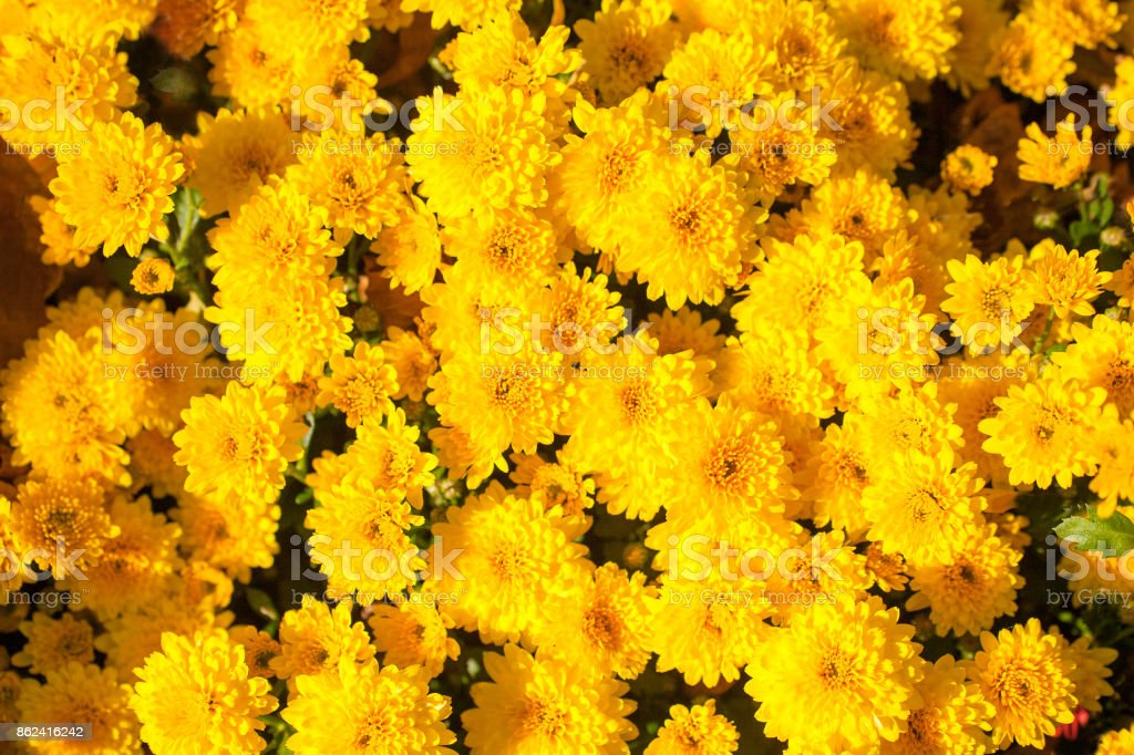 Colorful chrysanthemum close-up. Abstract background of yellow flowers stock photo
