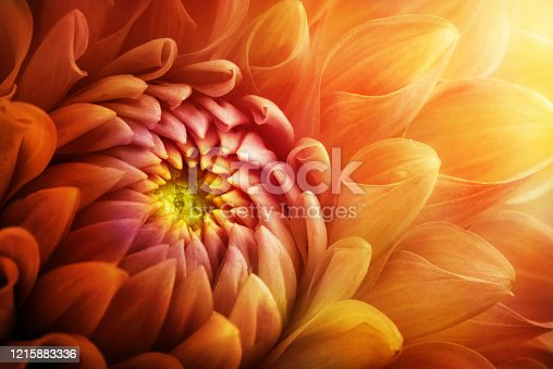 istock Colorful chrysanthemum flower macro shot. Chrysanthemum yellow, red, orange color flower background. 1215883336