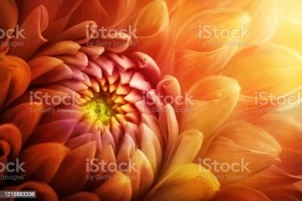 Photo of Colorful chrysanthemum flower macro shot. Chrysanthemum yellow, red, orange color flower background.
