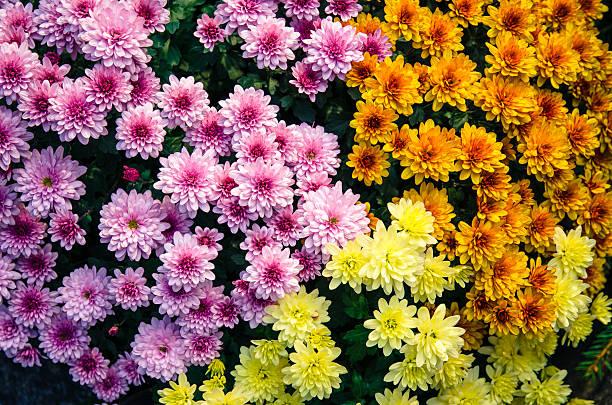 colorful chrysanthemum flower - chrysant stockfoto's en -beelden