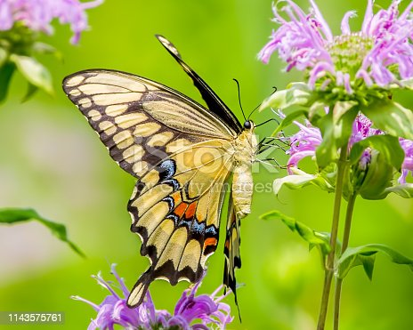 Colorful closeup portrait of a swallowtail butterfly feeding on a purple wildflower taken in the summer in Theodore Wirth Park in Minneapolis Minnesota