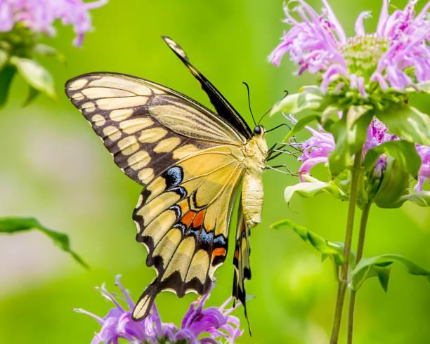 Colorful closeup portrait of a swallowtail butterfly feeding on a picture id1143575761?b=1&k=6&m=1143575761&s=612x612&w=0&h=dubawhurig5yyo3tbrhuyfcoxh 2ycl5o n2bvug ce=