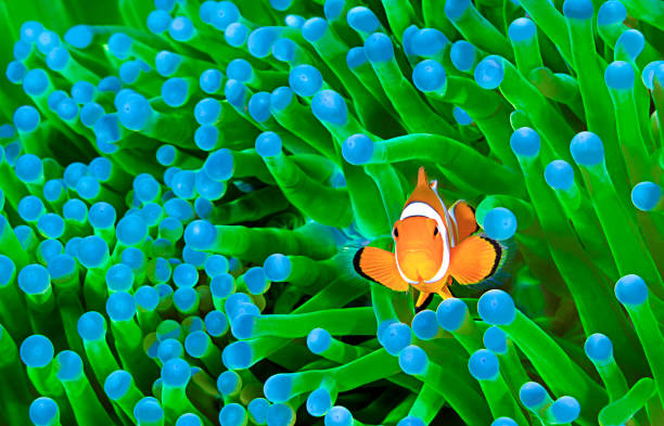 Colorful Clownfish Clownfish, Amphiprion ocellaris, hiding in host sea anemone Heteractis magnifica, Komodo Island, Indonesia, Indo-Pacific. anemonefish stock pictures, royalty-free photos & images