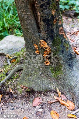 Close up shot of polypore fungi on tree