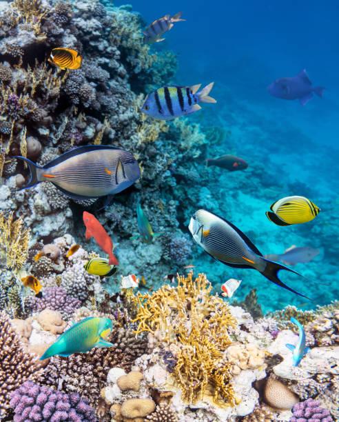 poissons colorés des récifs coralliens de la mer rouge. - organisme vivant photos et images de collection