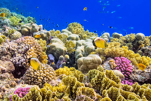 Colorful Coral Reef on Red Sea nearby Marsa Alam Coral Reef on Red Sea nearby Marsa Alam. coral colored stock pictures, royalty-free photos & images