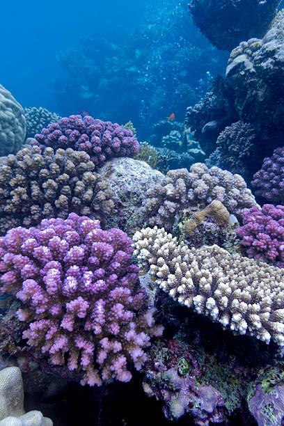 bunten korallenriff auf der unterseite des roten meeres - coral and mauve stock-fotos und bilder