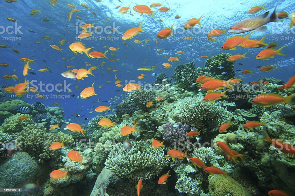 Colorful Coral Reef royalty-free stock photo
