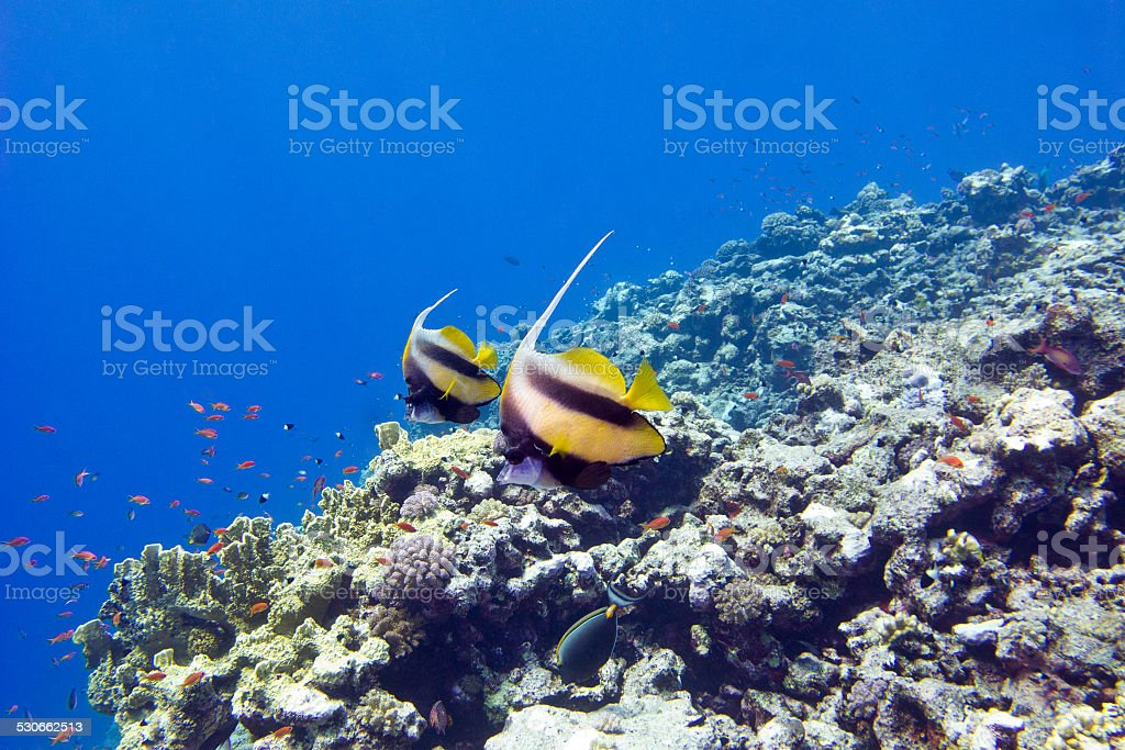 colorful coral reef with exotic fishes in tropical sea stock photo
