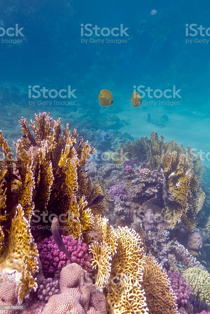 colorful coral reef with exotic fishes in tropical sea, underwater stock photo