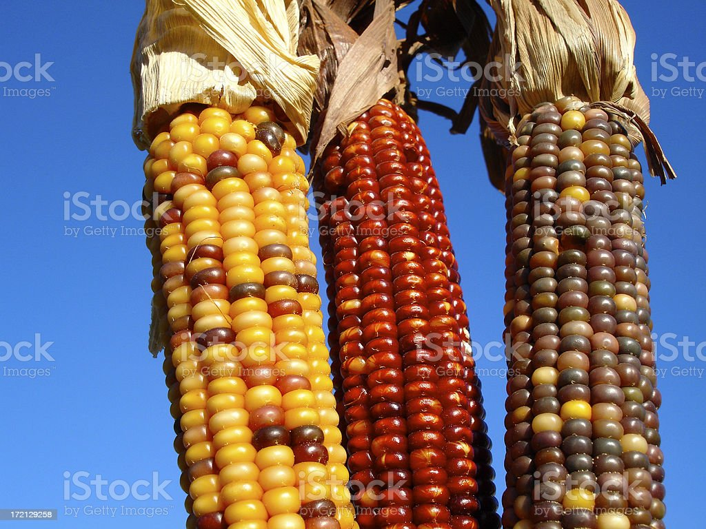 Colorful Corn royalty-free stock photo