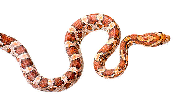 A colorful corn snake on a white background stock photo