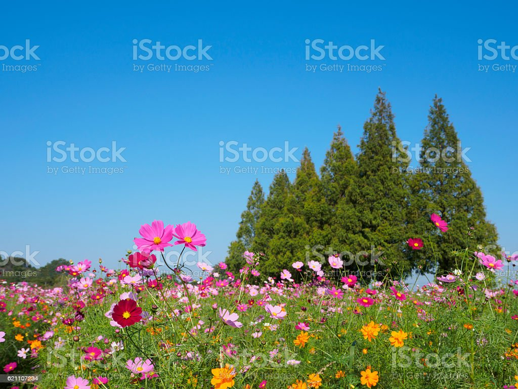 Colorful cosmos field and the triangular tree stock photo