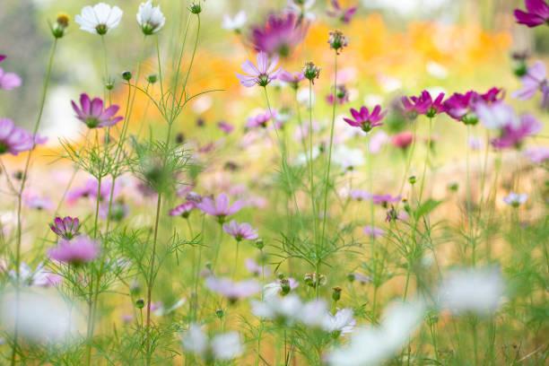 colorida flor cosmos bajo el sol - foto de stock
