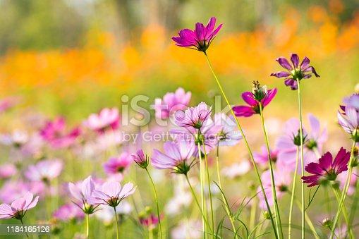 colorful cosmos flower under sunshine