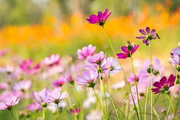 colorful cosmos flower under sunshine stock photo